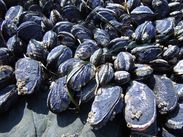 mussels-487805_640