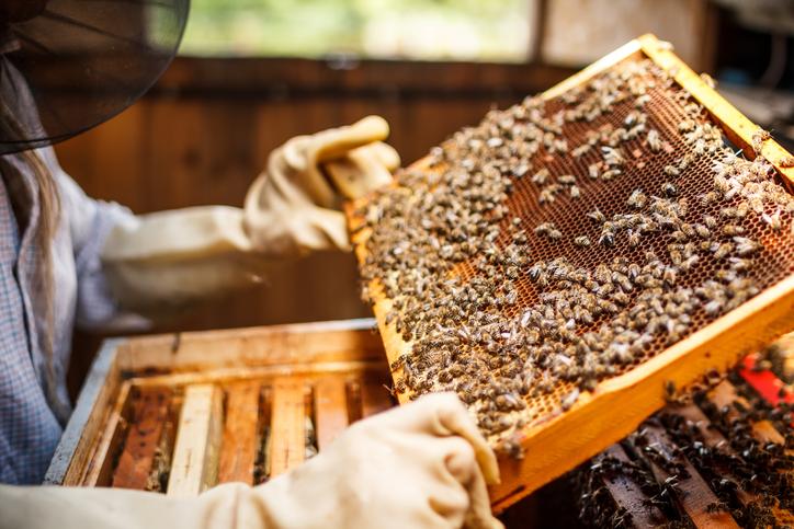 apiculteur récoltant le miel de la ruche